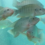 Tilapia in Portable Farms Aquapoics Systems