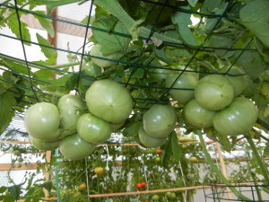 Green tomatoes growing vertically in Portable Farms and suspended overhead to support the heavy fruit. Beautiful, aren't they?
