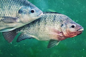 Tilapia in a Portable Farms Aquaponic System