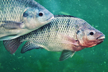 What is aquaponics for Tilapia swimming