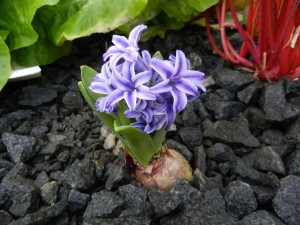 We've even grown flowers from bulbs like this lovely hyacinth.