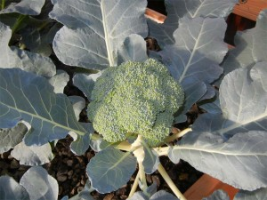 Broccoli grows well in Portable Farms! Large, tender, delicious and the plant offers several rounds of new blossoms after initial harvest.