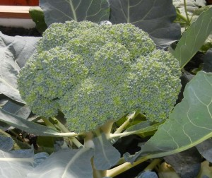 What do you think of this 1.9 pound broccoli crown in our Portable Farm? Photo taken May 10, 2013.