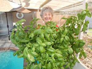 Phyllis Davis harvesting a dozen large basil. We're making pesto with pine nuts, fresh Parmesan cheese, garlic and olive oil and serving it with fresh hot homemade cracked-wheat bread and served with mozzarella cheese and fresh tomatoes for dinner tonight. WISH YOU WERE HERE. It's a good life. It's a simple life. It's a happy life.