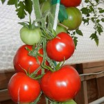 portable-farms-tomatoes-2