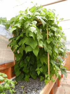 greenbean aquaponics