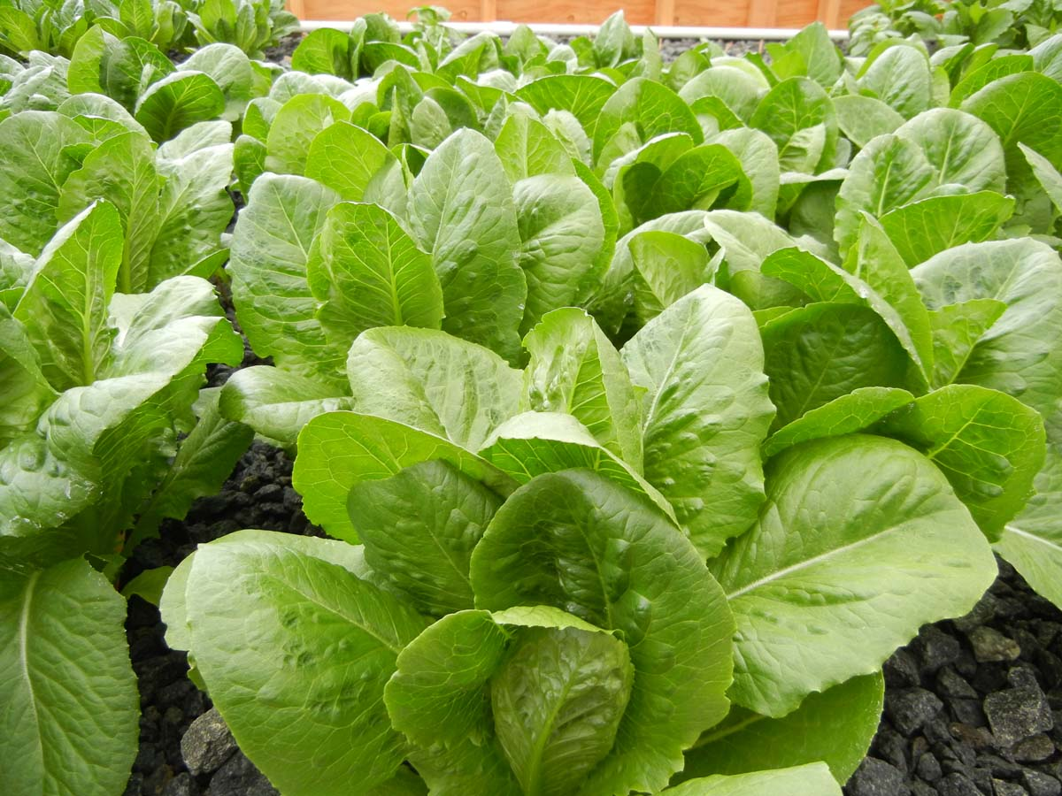 What Can You Grow in Aquaponics?  What Can You Gr...