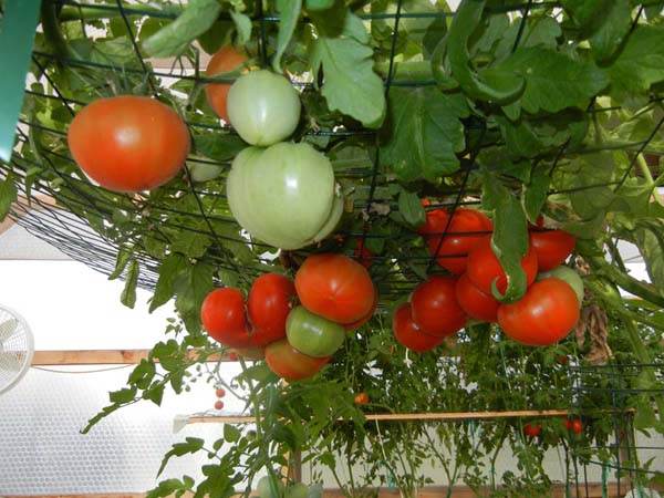 Tomatoes growing in a Portable Farm with Inda-Grow lights which quadrupled our blossom yield and doubled our tomatoes and doubled their size. WOW. Photo taken May 10, 2013.
