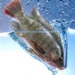 tilapia3 aquaponics