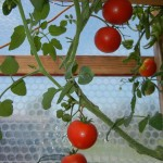 SOLAWRAP TOMATOES