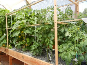 Tomato and cucumber plants growing vertically in one grow tray.