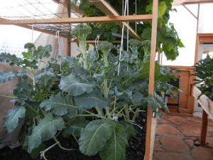 Broccoli that is 'crowning' in our Portable Farm (photo taken February 3, 2013) as it continues to develop large heads of delicious organic broccoli. The stems are also crisp and edible for salads or juicing.