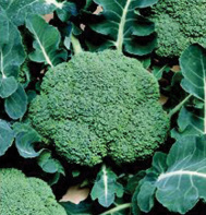 Beautiful and delicious broccoli growing in Portable Farms.