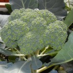 portable-farms-broccoli-blooming-plants-in-aquaponics
