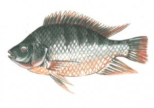 tilapia drawing