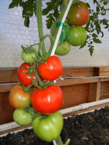 Tomatoes growing in our Portable Farm on March 31, 2013. Delicious, large tomatoes that are almost ready for harvest this week.