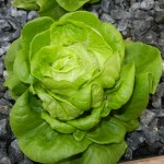 "Butter leave lettuce ready to harvest that is 12"" in width. Tender, delicious and rich in flavor."