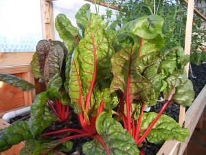 "Swiss chard grown in Portable Farms® that is 35"" tall and grown in only 34 days."