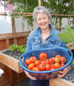 Phyllis Davis harvesting ripe delicious tomatoes ranging from one-half pound to two pounds per tomato.