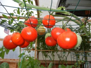 Ripe tomatoes and ready for harvest.