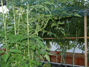 Tomatoes growing vertically on clothes line ropes attached to trellis'.