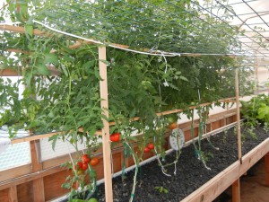 Tomatoes growing vertically.