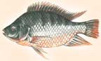 tilapia drawing2