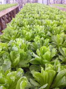 Lettuce growing in a Portable Farms® Commercial Aquaponics Operation in Legos, Nigeria