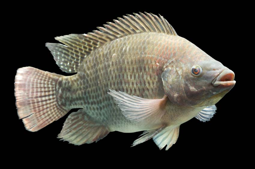 Tilapia is the fish for aquaponics for Tilapia not real fish