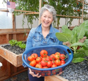 tomatoe harvest with phyllis may 18 2013