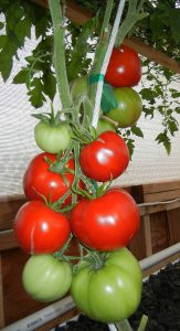 GFIA Portable Farms® Aquaponics System - Tomatoes 6