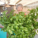 Phyllis Davis harvesting fresh basil from Portable Farms.