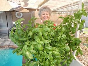 Phyllis Davis harvesting fresh basil from Portable Farms.