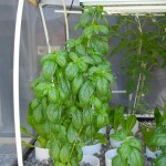Basil PatioPonics Portable Farm