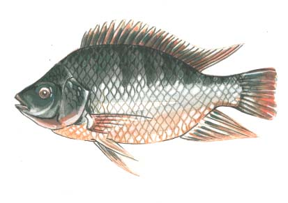 Tilapia Drawing - Portable Farmsu00ae